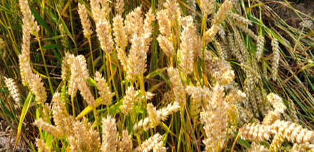 Closeup of Golden brown wheat field crops in countryside near forrest during summer. Agriculture. 写真素材 - 128903627