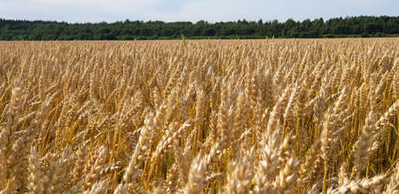 Closeup of Golden brown wheat field crops in countryside near forrest during summer. Agriculture. 写真素材 - 128903623