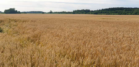 Closeup of Golden brown wheat field crops in countryside near forrest during summer. Agriculture. 写真素材 - 128904129