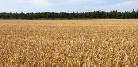 Closeup of Golden brown wheat field crops in countryside near forrest during summer. Agriculture. 写真素材 - 129540961