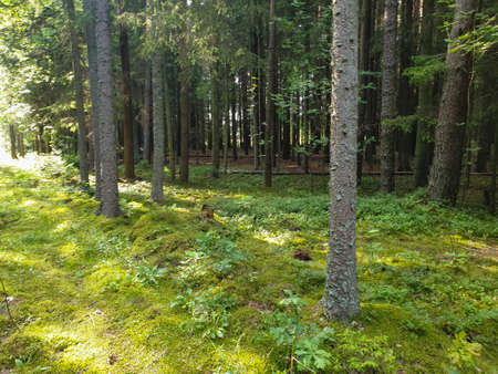 Inside view of forrest during summer with trees grass and leafs. 写真素材 - 129288423