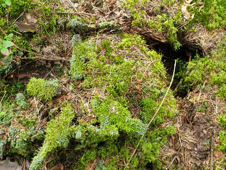 Closeup of mossed stub, stumb or strain in forrest during summer.