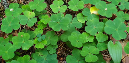 Closeup of growing clover field on ground in forrest during summer. 写真素材