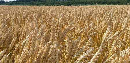 Closeup of Golden brown wheat field crops in countryside near forest during summer. Agriculture. 写真素材 - 129229210