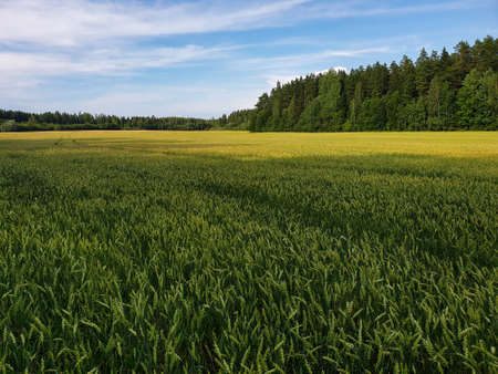 Landscape of green wheat fields near forest during summer. Crops field with sky and clouds