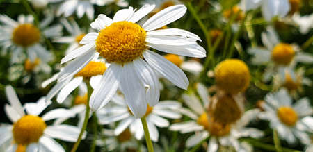 Closeup of Chamomile flower field near forrest growing on ground during summer. 写真素材 - 128924906
