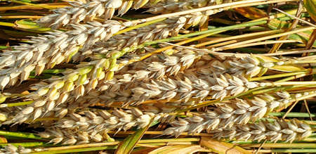 Closeup of Golden brown wheat field crops in countryside near forrest during summer. Agriculture. 写真素材 - 128924905