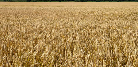 Closeup of Golden brown wheat field crops in countryside near forrest during summer. Agriculture. 写真素材 - 128924919