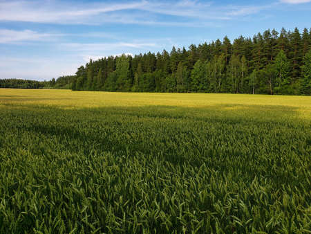 Landscape of green wheat fields near forest during summer. Crops field with sky and clouds 写真素材 - 128925227
