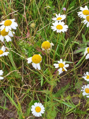 Chamomile or camomile flowers field closeup near forest during summer. Green grass and flowers field. 写真素材 - 128925222