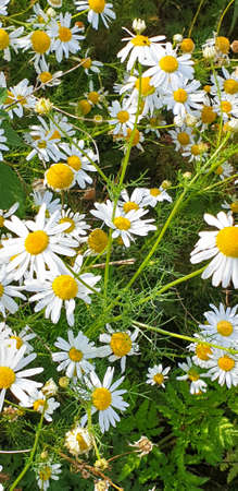 Closeup of Chamomile flower field near forrest growing on ground during summer. 写真素材 - 128925234