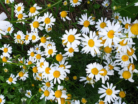Chamomile or camomile flowers field closeup near forest during summer. Green grass and flowers field.