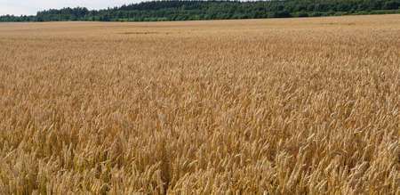 Closeup of Golden brown wheat field crops in countryside near forrest during summer. Agriculture. 写真素材 - 128925452
