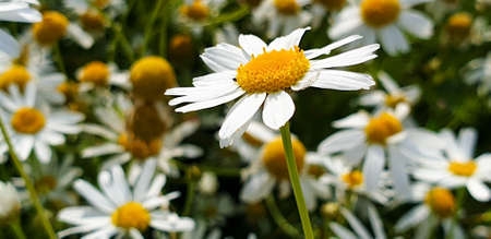 Closeup of Chamomile flower field near forrest growing on ground during summer. 写真素材 - 128925462