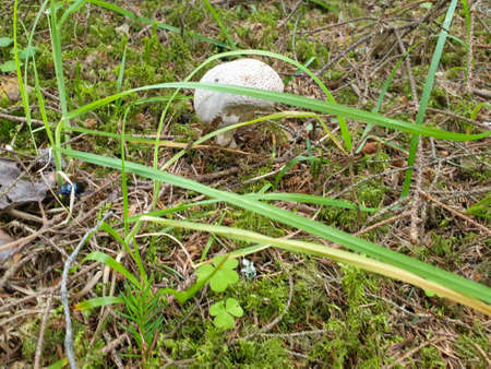 Closeup of mushroom growing in green forrest during summer 写真素材 - 128925464