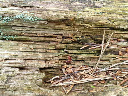Texture of fallen tree wood in forrest during summer. Closeup of wood background. 写真素材 - 128925468