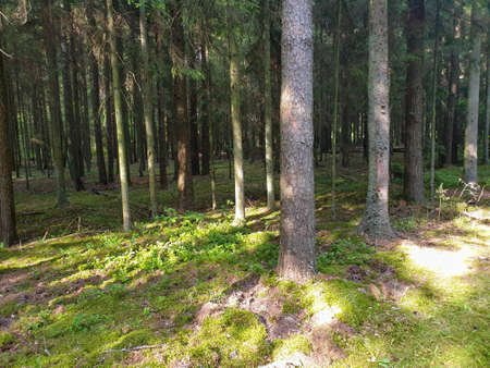 Inside view of forrest during summer with trees grass and leafs. 写真素材