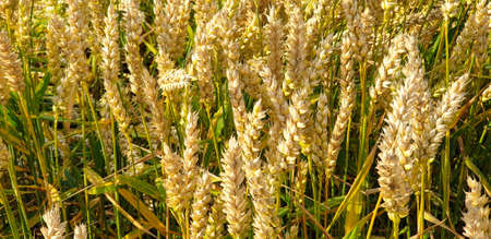 Closeup of Golden brown wheat field crops in countryside near forrest during summer. Agriculture. 写真素材 - 128925874