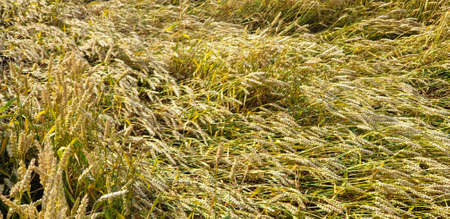 Closeup of Golden brown wheat field crops in countryside near forrest during summer. Agriculture.