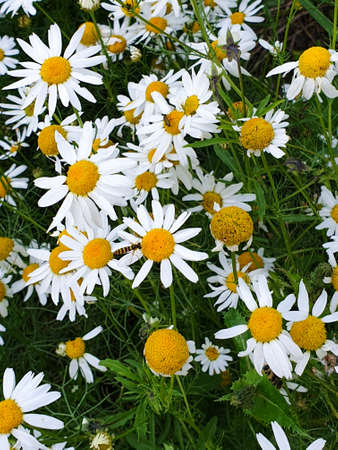 Chamomile or camomile flowers field closeup near forest during summer. Green grass and flowers field. 写真素材 - 128925869