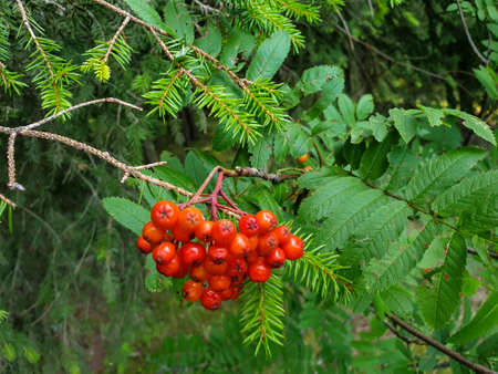 Ashberry, rowan, mountain ash, service tree berries with leafs hanging on tree during summer in forrest 写真素材 - 128925868