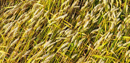 Closeup of Golden brown wheat field crops in countryside near forrest during summer. Agriculture. 写真素材 - 128925891
