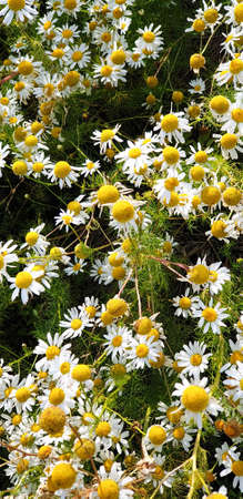 Closeup of Chamomile flower field near forrest growing on ground during summer. 写真素材 - 128925903
