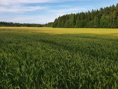 Landscape of green wheat fields near forest during summer. Crops field with sky and clouds 写真素材 - 129517481