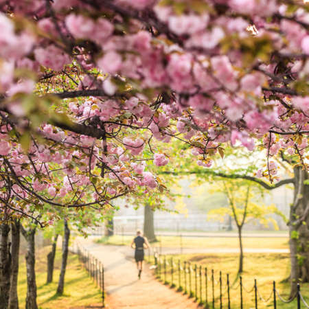 cerezos en flor: Cherry Blossom Festival. Washington, DC