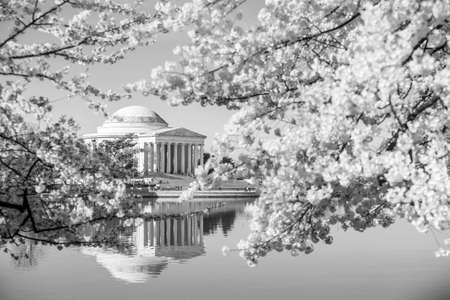 jefferson: the Jefferson Memorial during the Cherry Blossom Festival. Washington, DC black and white