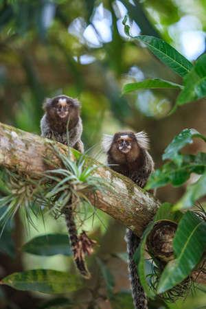 árbol genealógico: El tití común (Callithrix jacchus) Mono Blanco-espigada en Río de Janeiro Foto de archivo