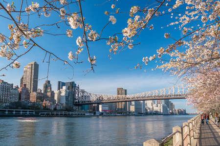 roosevelt: Queen bridge to Roosevelt Island during cherry blossom in New York City