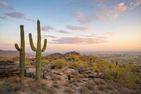 View of  Saguaro cactus and downtown Phoenix Arizona at sunrise