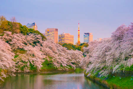 Chidorigafuchi park with full bloom sakura in Tokyo, Japan.
