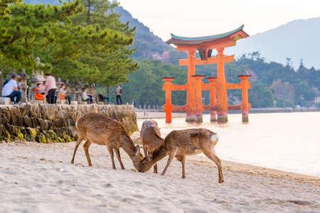 Rotwild und rotes Torii in Miyajima Hiroshima, Japan Standard-Bild - 77665156