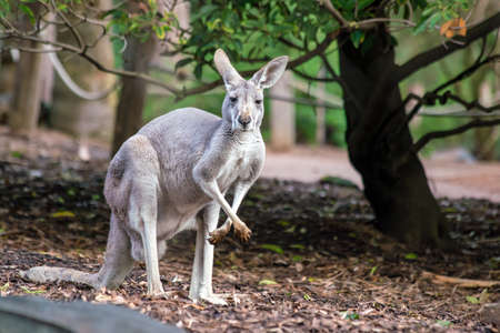 Kangaroo with natural background in Perth, Western Australia Imagens