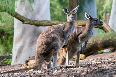 Kangaroo with natural background in Perth, Western Australia Stock Photo