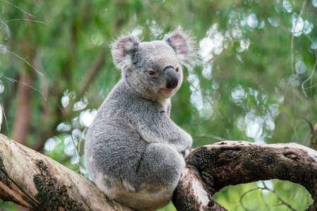 Koala relaxing in a tree in Perth, Australia. Foto de archivo