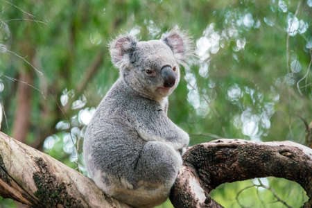 Koala relaxing in a tree in Perth, Australia. 版權商用圖片