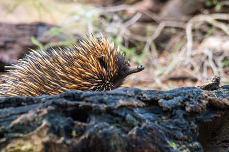 spiny: Echidna, Tachyglossus species located across Perth in Australia
