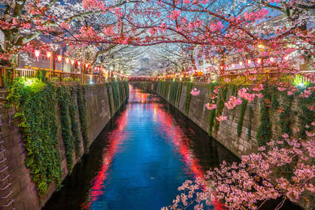 Cherry blossom at Meguro Canal in Tokyo, Japan at night