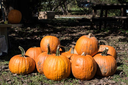 Fall festival pumpkins outside ready for family fun carving Stock fotó