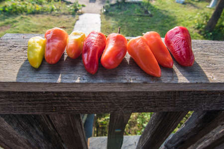 Homegrown Colorful Hot Peppers Harvested on a Sunny Day in Backyard Garden Фото со стока