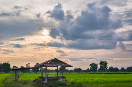 A beatuful sunset scenario in countryside and the growing rice