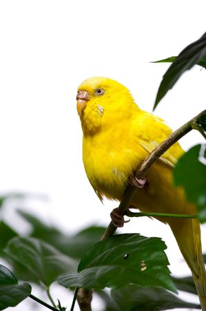 Closeup of small yellow parrot sitting on branch. Bird is isolated on white background. Stock Photo - 3770014