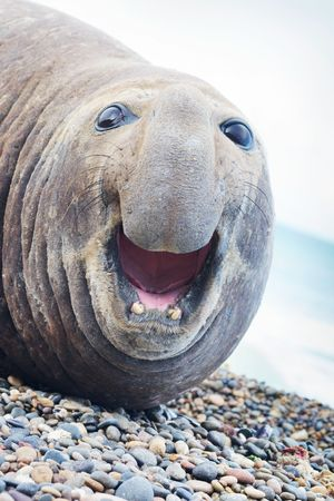Portrait of aggressive sea elephant. Look straight into the camera and screaming with her mouth open.