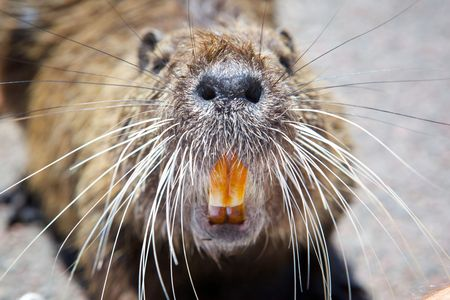 Picture rodent close. The nose, whiskers and teeth. Stock Photo