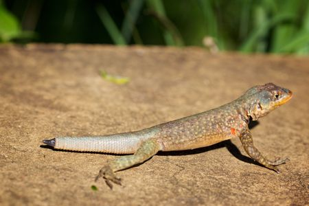 Photo of lizard without a tail on a rock.  Stock Photo