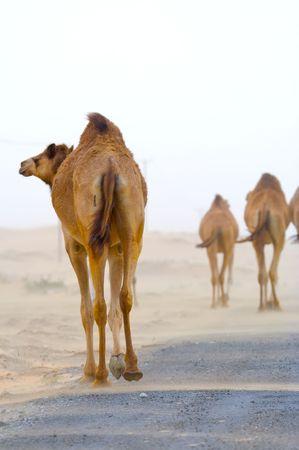 camello: Camello rezagado del reba�o y van en el camino en el desierto  Foto de archivo