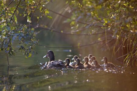 Image of wild duck with a group of young ducklings. Floats down the river under the leaves of trees. Photos and when the contrast is made against the sun. photo